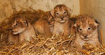 zoo_kills_lion_cubs_featured.jpg